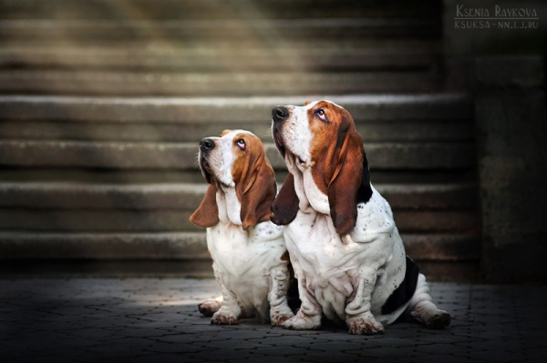 Basset hounds in the lightby ~Ksuksa-Raykova